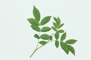 葉の写真素材 [FYI01327596]