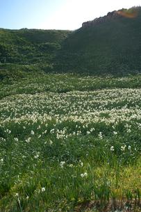 海側から見た爪木崎の水仙群生地の写真素材 [FYI01328503]