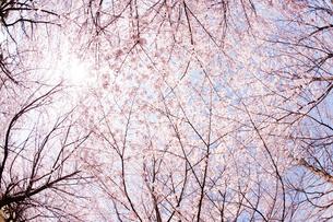青空と太陽と桜の写真素材 [FYI01328595]