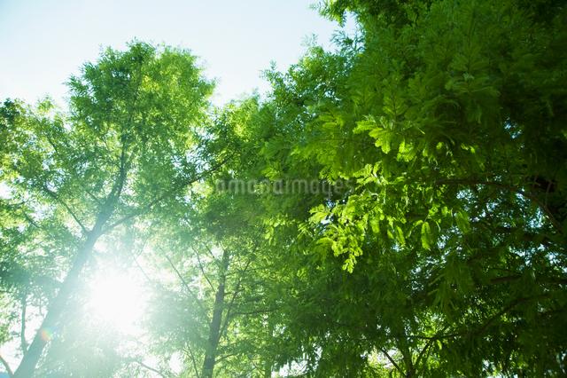 陽射し差込む新緑の樹の写真素材 [FYI01328737]