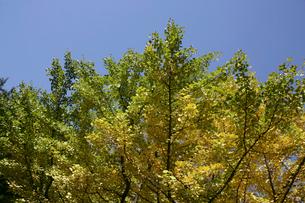 黄葉と青空の写真素材 [FYI01330924]
