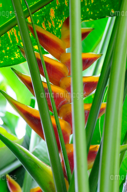 熱帯の花ヘリコニア`カメハメハ'の写真素材 [FYI01333478]