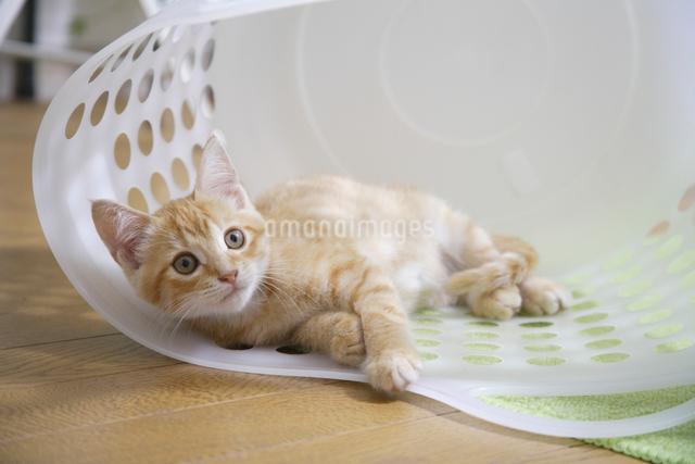 ランドリー籠の中で寛ぐ子猫の写真素材 [FYI01334236]