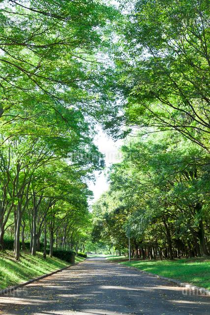 大泉緑地の並木道の写真素材 [FYI01334316]
