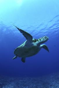 陽光を浴びて泳ぐアオウミガメの写真素材 [FYI01334569]