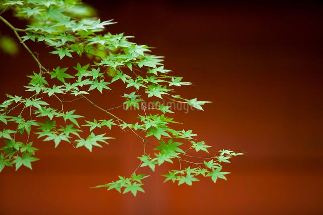 新緑のもみじの写真素材 [FYI01334799]