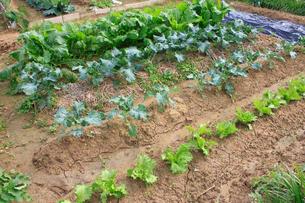 家庭菜園の写真素材 [FYI01335281]