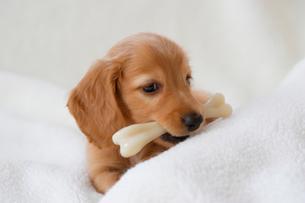 ミニチュアダックス仔犬の写真素材 [FYI01335358]