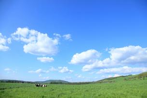 放牧地の乳牛の写真素材 [FYI01336061]
