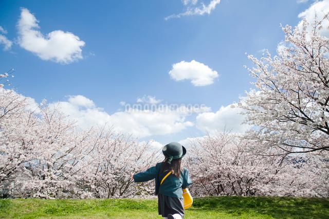 満開の桜並木を走る幼稚園児の写真素材 [FYI01336067]