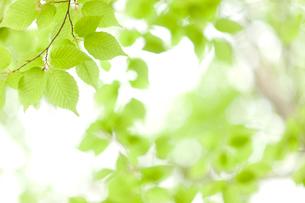 新緑の葉の写真素材 [FYI01336116]