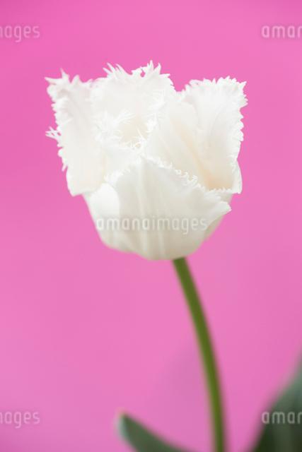 白いチューリップの写真素材 [FYI01336285]