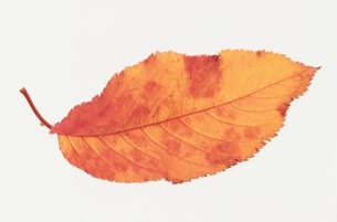 葉の写真素材 [FYI01336356]