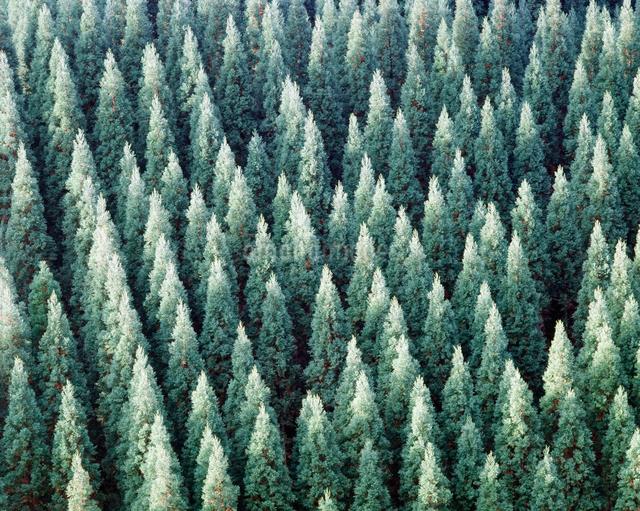 杉林の写真素材 [FYI01337016]