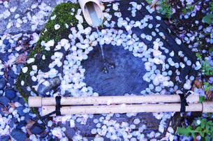 金ヶ崎公園の桜の写真素材 [FYI01337252]