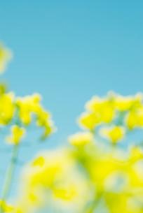 ピントのボケた菜の花の写真素材 [FYI01337363]