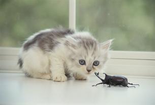 向かい合う子猫とカブトムシの写真素材 [FYI01338254]