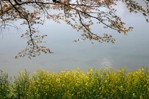 菜の花と桜の写真素材 [FYI01338657]