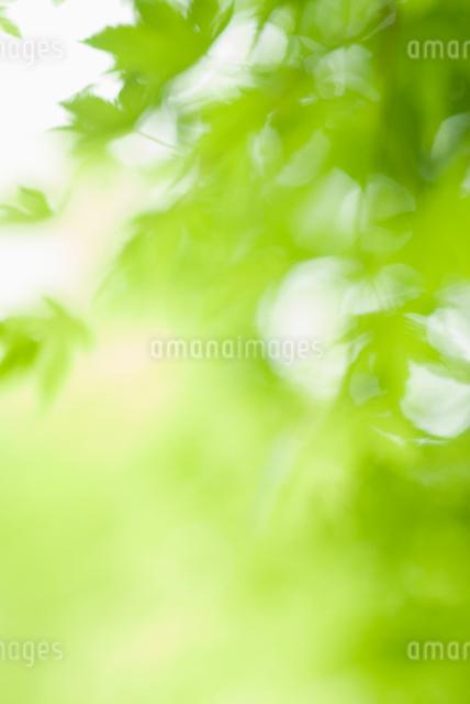 風になびく新緑の葉の写真素材 [FYI01338983]