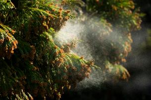 杉花粉の写真素材 [FYI01339321]