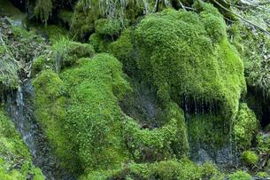 岩清水と苔の写真素材 [FYI01339695]