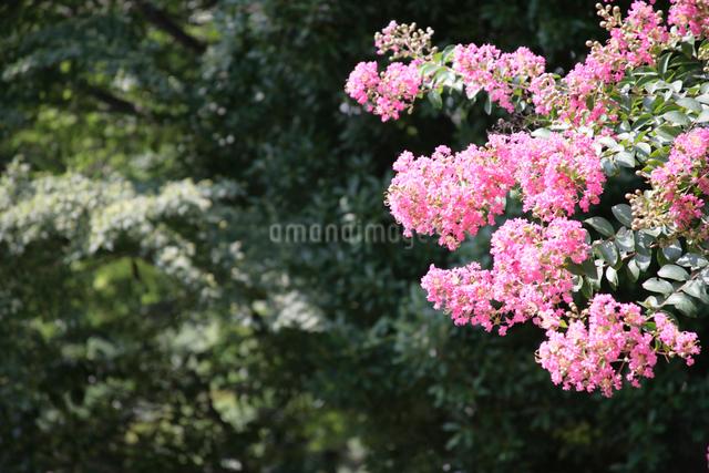 ピンクの花の写真素材 [FYI01339756]