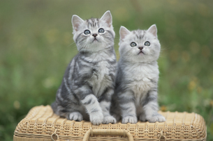 カゴの上に座る2匹のネコの写真素材 [FYI01339834]