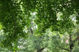イチョウの木の写真素材 [FYI01340222]