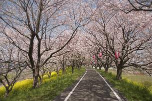 桜並木の写真素材 [FYI01340326]