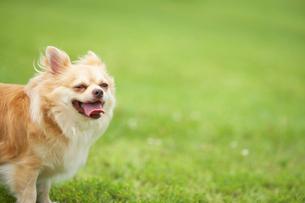 笑うチワワの横顔と芝生の写真素材 [FYI01340637]