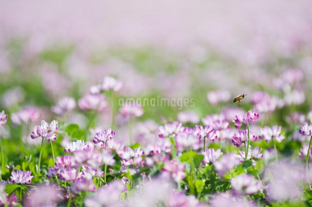 レンゲ畑で蜜を集めるミツバチの写真素材 [FYI01341045]