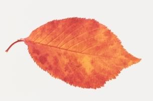 葉の写真素材 [FYI01341645]