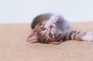 ネコ 1匹 屋内の写真素材 [FYI01341872]