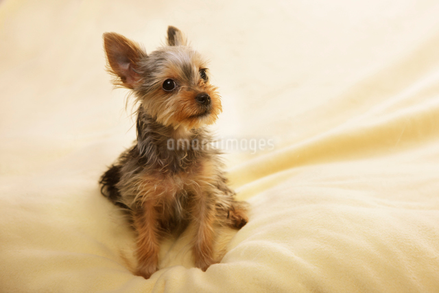 ふわふわの毛布の上でリラックスするヨークシャテリアの子犬の写真素材 [FYI01342181]