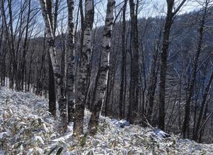 冬の木立の写真素材 [FYI01342218]