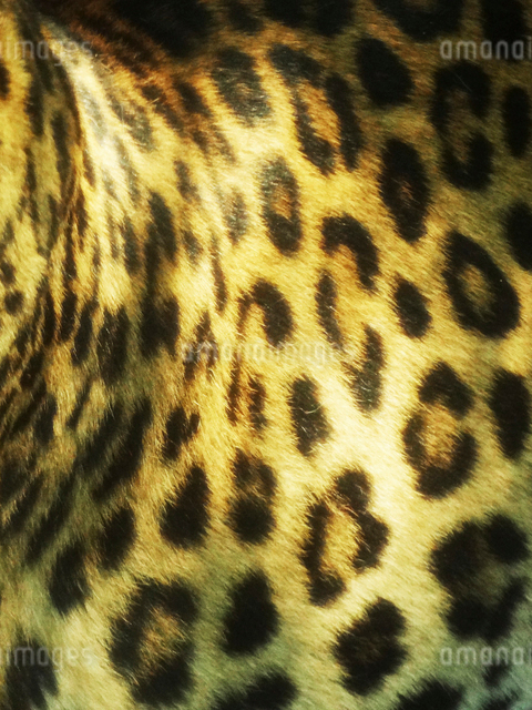 ヒョウの胴体の模様の写真素材 [FYI01343751]