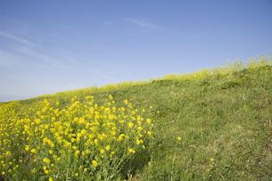 草原に咲く菜の花の写真素材 [FYI01344094]