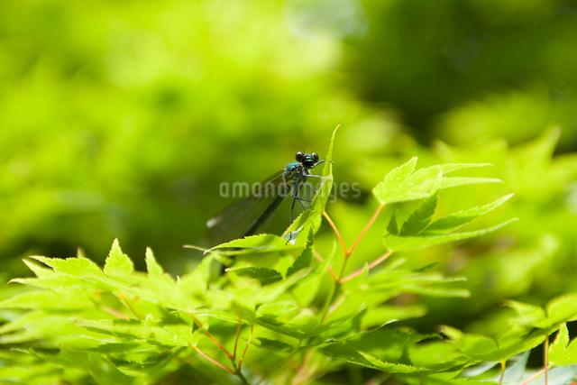 新緑とイトトンボの写真素材 [FYI01344703]