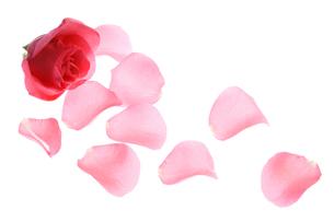 薔薇の花びらの写真素材 [FYI01344720]