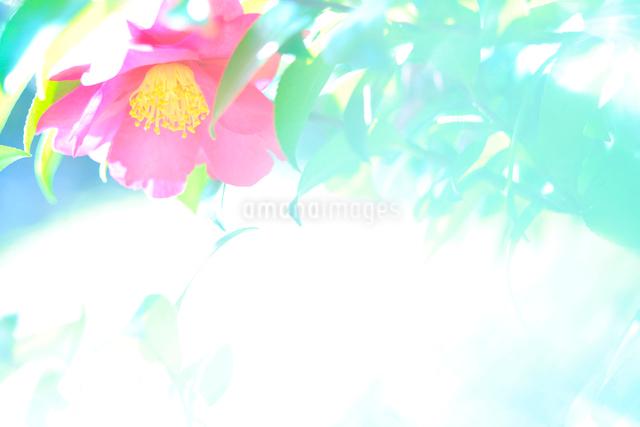 カンツバキの写真素材 [FYI01345029]