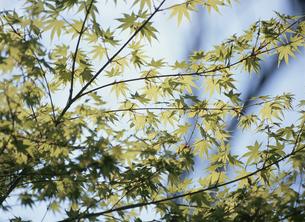かえでの新緑の写真素材 [FYI01345976]