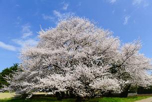 快晴の空をバックに咲く桜の大木の写真素材 [FYI01346469]