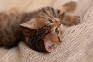 ネコ 1匹 屋内の写真素材 [FYI01346858]