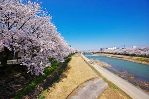 小矢部川公園の桜の写真素材 [FYI01347149]