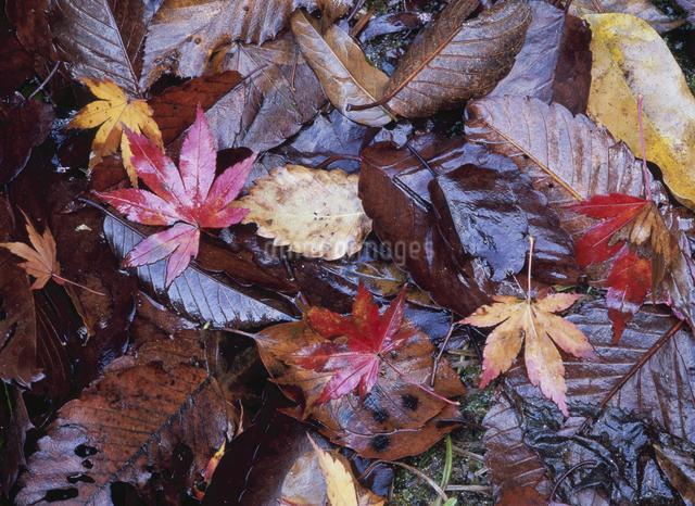 落葉の写真素材 [FYI01347231]