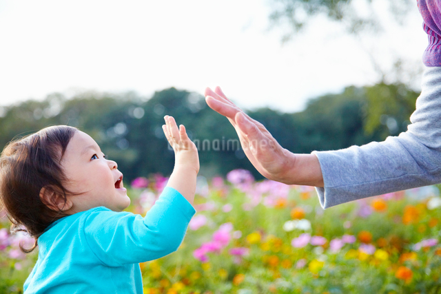 コスモス畑の前でハイタッチをする孫とおばあちゃんの写真素材 [FYI01347405]