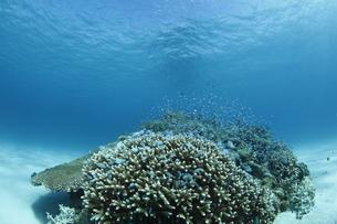 慶良間諸島のサンゴとスズメダイの写真素材 [FYI01347730]