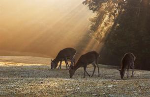 朝もやと鹿の写真素材 [FYI01348367]