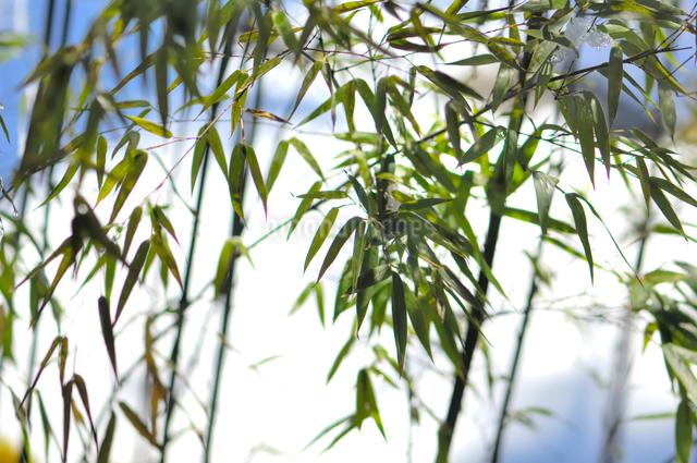 笹竹の写真素材 [FYI01349852]