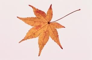 もみじの写真素材 [FYI01350006]